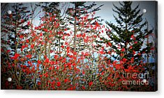 Red Berries Acrylic Print