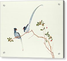 Red Billed Blue Magpies On A Branch With Red Berries Acrylic Print