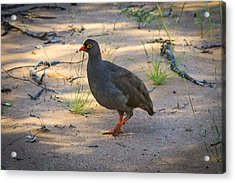 Red Billed Francolin Acrylic Print