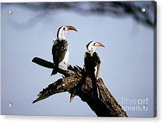 Red-billed Hornbills Acrylic Print by Art Wolfe