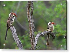 Red-billed Hornbills Acrylic Print by Bruce J Robinson