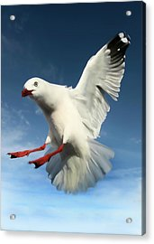 Red Billed Seagull  Acrylic Print by Amanda Stadther