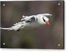 Red-billed Tropicbird In Flight Acrylic Print by Bob Gibbons