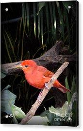 Red Bird Pose Acrylic Print