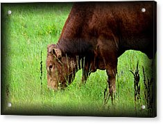 Red Brangus Bull Acrylic Print