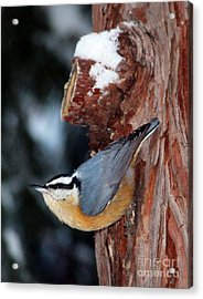 Red Breast Nuthatch  Acrylic Print