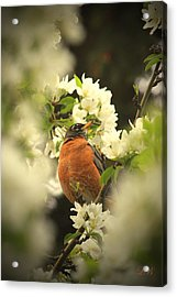 Red Breasted Beauty Acrylic Print by Laura Bentley