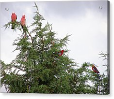 Red-breasted Cockatoos And Crimson Rosellas Acrylic Print by Bev Conover