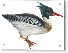 Red-breasted Merganser Acrylic Print by Anonymous