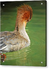 Red Breasted Merganser Acrylic Print