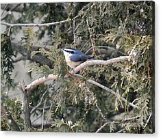 Acrylic Print featuring the photograph Red Breasted Nuthatch by Brenda Brown