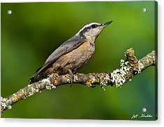 Red Breasted Nuthatch In A Tree Acrylic Print