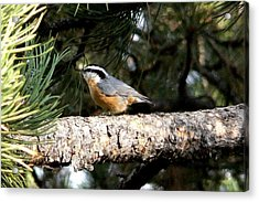 Red-breasted Nuthatch In Pine Tree Acrylic Print