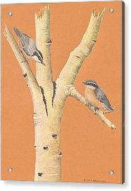 Red-breasted Nuthatches On Aspen Acrylic Print by Gina Gahagan