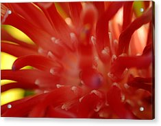 Acrylic Print featuring the photograph Red Bromeliad by Greg Allore