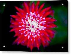 Red Bromeliad Painted Acrylic Print