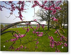 Red Bud Bloom Acrylic Print by John Holloway