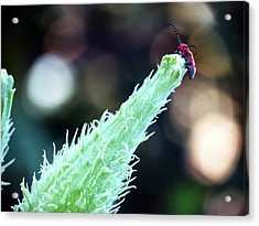 Red Bug Acrylic Print by Don Barnes