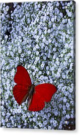 Red Butterfly And Baby's Breath Acrylic Print