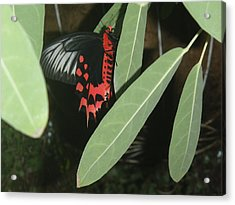 Acrylic Print featuring the photograph Red Butterfly by Robert Nickologianis