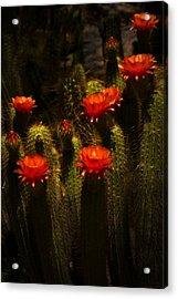 Red Cactus Flowers II  Acrylic Print by Saija  Lehtonen