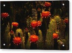 Red Cactus Flowers  Acrylic Print by Saija  Lehtonen