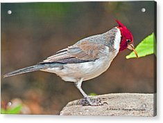 Red-capped Cardinal Acrylic Print