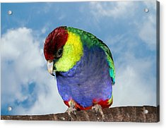 Acrylic Print featuring the photograph Red Capped Parrot by David Rich