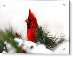 Red Cardinal Acrylic Print by Christina Rollo