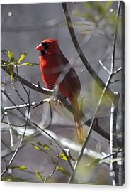 Red Cardinal In A Tree 2 Acrylic Print by Chris Flees
