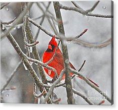 Red Cardinal Northern Bird Acrylic Print by Peggy Franz