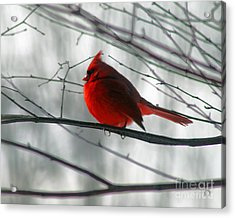 Red Cardinal On Winter Branch  Acrylic Print by Karen Adams