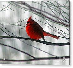 Red Cardinal On Winter Branch  Acrylic Print by Karen Adams