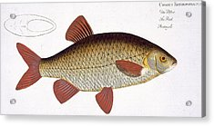 Red Carp Acrylic Print by Andreas Ludwig Kruger