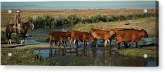 Red Cattle Acrylic Print by Diane Bohna