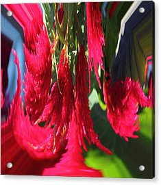 Red Celosia Plumosa  Acrylic Print by Rhonda Humphreys