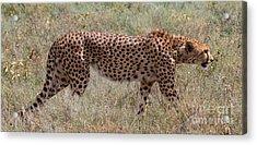 Red Cheetah Acrylic Print by Chris Scroggins
