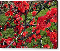 Red Cherry  Acrylic Print by Debra Crank