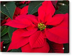 Red Christmas Beauty Acrylic Print