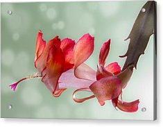 Red Christmas Cactus Bloom Acrylic Print