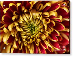 Red Chrysanthemum Acrylic Print by Matt Malloy