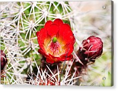 Red Claret Cup Cactus Acrylic Print