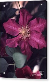 Red Clematis  133 Acrylic Print by Stephen Parker