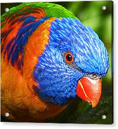 Red Collared Lorikeet Acrylic Print by Margaret Saheed