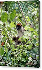 Red Colobus Monkey Acrylic Print by Art Wolfe