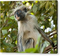 Red Colobus Monkey Acrylic Print by Nian Chen