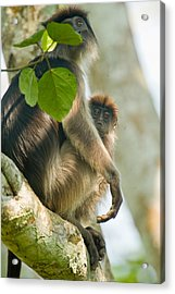 Red Colobus Monkey With Its Young One Acrylic Print by Panoramic Images
