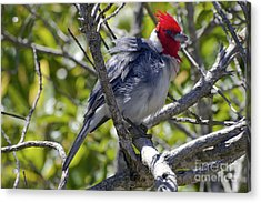 Red Crested Cardinal Acrylic Print by Bob Phillips