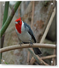 Red Crested Cardinal Acrylic Print