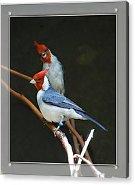 Red-crested Cardinal Acrylic Print by Walter Herrit